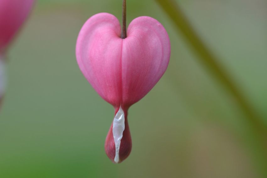 Beauty In Nature Bleeding Heart  Blooming Blossom Botany Bud Close-up Day Flower Flower Head Focus On Foreground Fragility Freshness Growth In Bloom Nature No People Outdoors Petal Pink Pink Color Plant Selective Focus Softness Stem