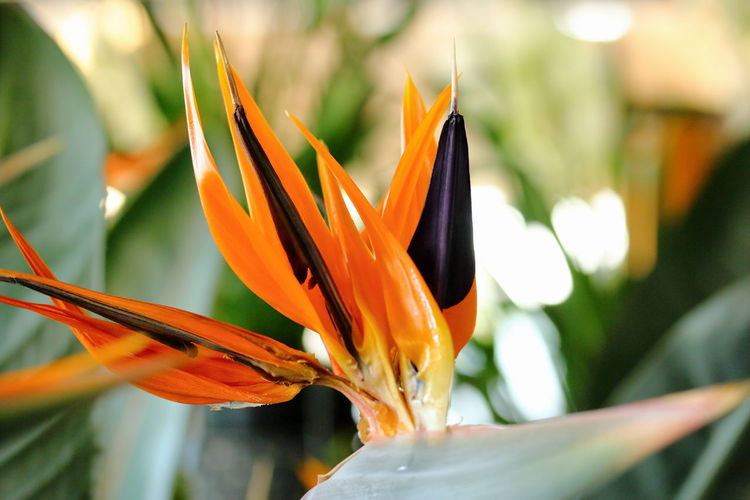 Beauty And Passion Beauty In Nature Bird Of Paradise - Plant Close-up Day Flower Flower Head Fragility Freshness Growth Nature No People Orange Color Petal Red Blue Orane