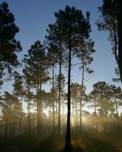 A very cold and sunny morning in Verdizela, Seixal, Portugal. Tree Nature Forest Pine Tree Pinaceae Beauty In Nature No People Tree Area Trees And Nature Mist Sunrise Nascer Do Sol Sunrise_sunsets_aroundworld Sunrise_Collection Sunrise N Sunsets Worldwide  Sunrisephotography
