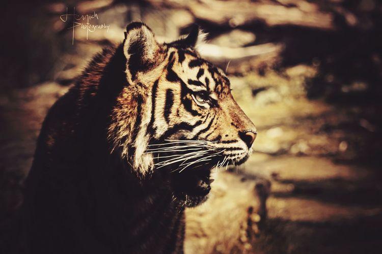 Nice Weather Majestic Tiger Tigereyes Beautiful Animals  Sunshine Quality Times Taking Photos Sunset Enjoying Life Lovely