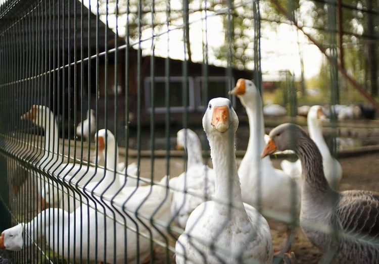 SONY A7ii Gooses Village Bird Trapped Cage Beak Feather  Birdcage Pets