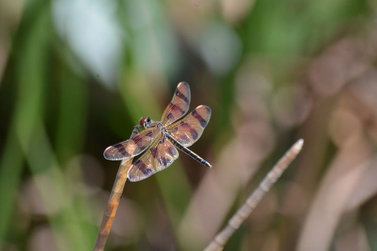 Close-up of golden dragonfly, halloween pennant, celithemis eponina