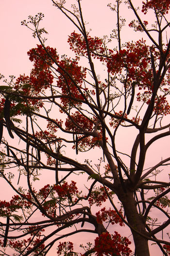 Branches Branches And Blossom Branches And Shadow Branches And Sky Flame Tree Red Flower Red Flowers Red Mood Red Nature Red Sky Tree