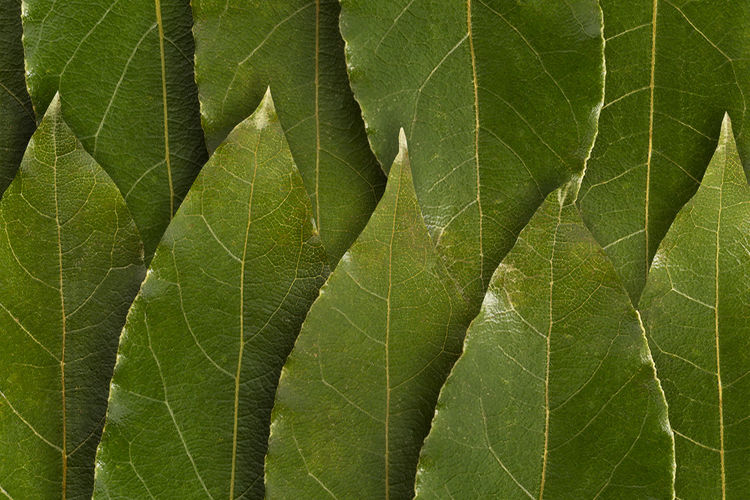 laurel bay leaves , background Bay Bay Leaves Bay Leaf Laurel  Laurel Leaves Laurel Leaf Leaves🌿 Seafood Condiment Condiments  Leaf Plant Part Green Color Close-up Plant Full Frame Backgrounds No People Textured  Beauty In Nature Growth