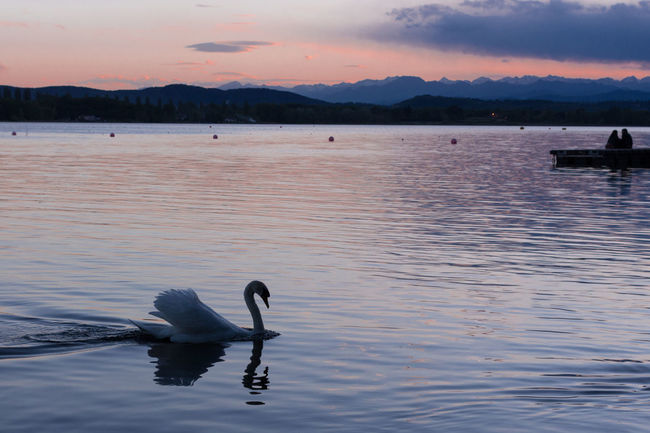 White swan searching for love on a spring evening on lake Varese in Italy Emotions EyeEmNewHere Love Story Searching For Love  Amazing Swans Animal Themes Animals In The Wild Beauty In Nature Evening In Spring Feelings Italy Lake Love And Romance Outdoors Reflection Rose And Blue Colors Sky Sunset Swan Swan Images Swan Life Swan On The Lake Swan Photography Swimming Touching Scene