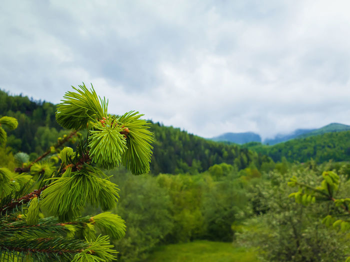 Close up of fir branches with young sprouts buds over the spring mountain background.
