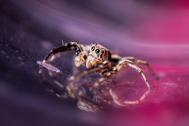 Spider jumping in Thailand is a colorful picture. Eye Fur Insect Jump Tiny Hair Hunter Nature Postcard Spider Close Up Close Up Nature Colorful Colorful Nature Large Little Small