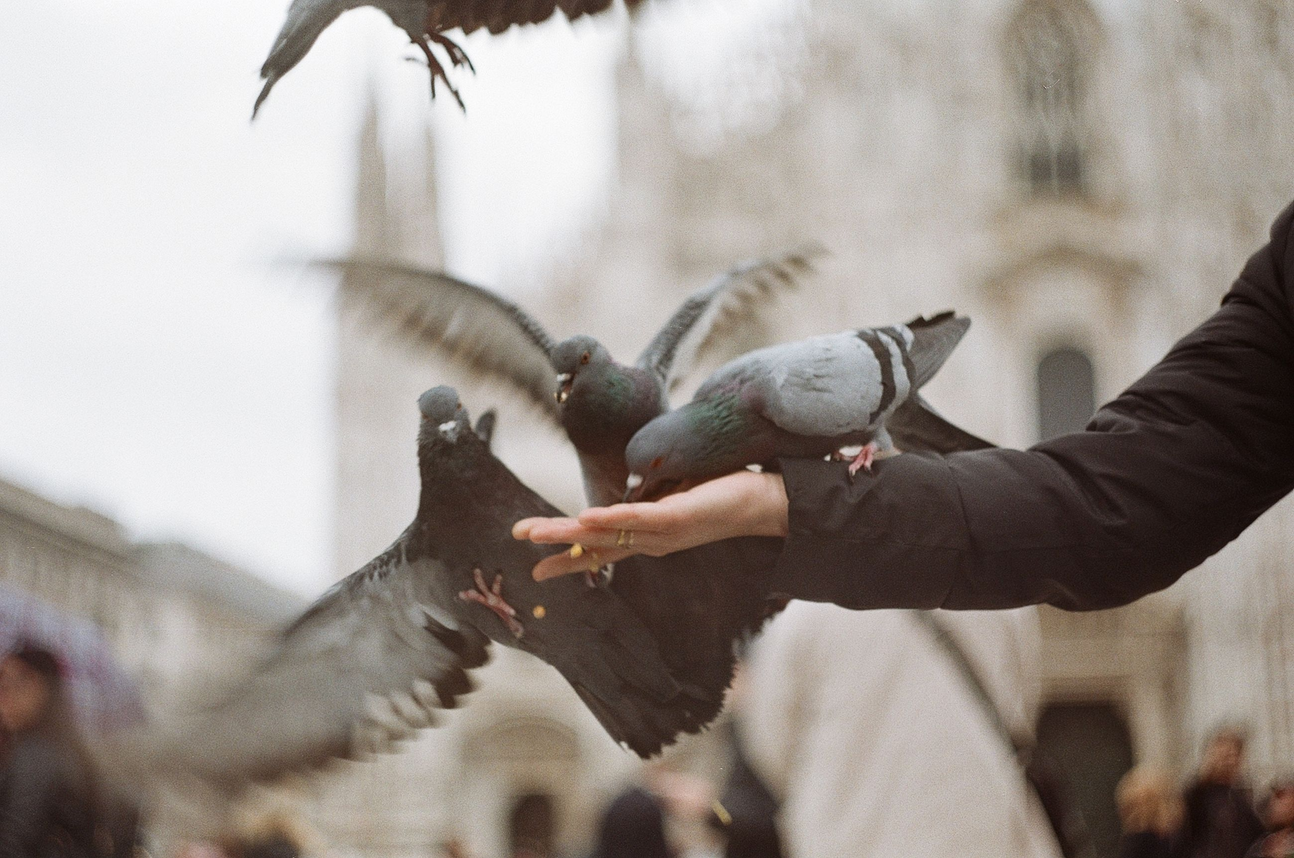 bird, vertebrate, animals in the wild, animal wildlife, human hand, hand, group of animals, real people, focus on foreground, human body part, day, feeding, one person, spread wings, holding, food, pigeon, outdoors, finger
