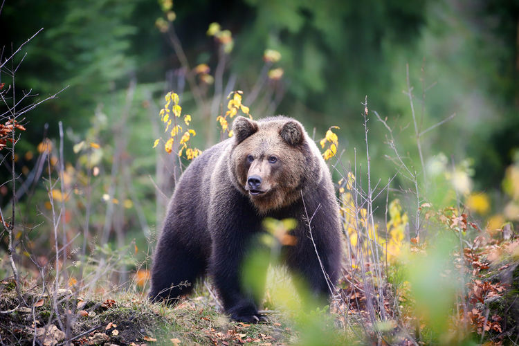 Brown bear, nationalpark bayerischer wald, germany, europe