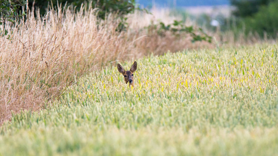 Roe Deer in wheat field Hunting Jagd Reh Haarwild Rehwild Roe Deer Roe Deers One Animal Animal Animal Themes Animal Wildlife Plant Animals In The Wild Mammal Beauty In Nature Looking At Camera Grass Field No People Vertebrate Outdoors Nature Day Growth