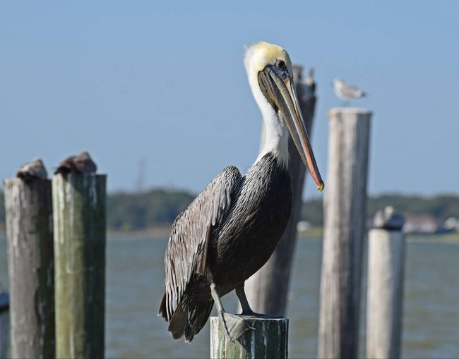 Close-Up Of Pelican Perching On Wood