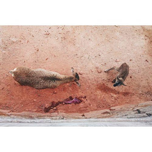 啱出世落地~ 血都未乾呀~~ 天日動物管理員見到多咗隻養仔會唔會好愕然咧~= ̄ω ̄= Zoo Rcnocrop Sheep Metton newborn Canton guangzhou 廣州 animal