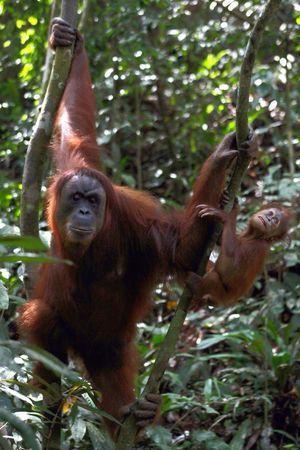 Orangutan Mother and Baby Sumatra  INDONESIA Jungle Trek Wildlife Playing With The Animals Monkey