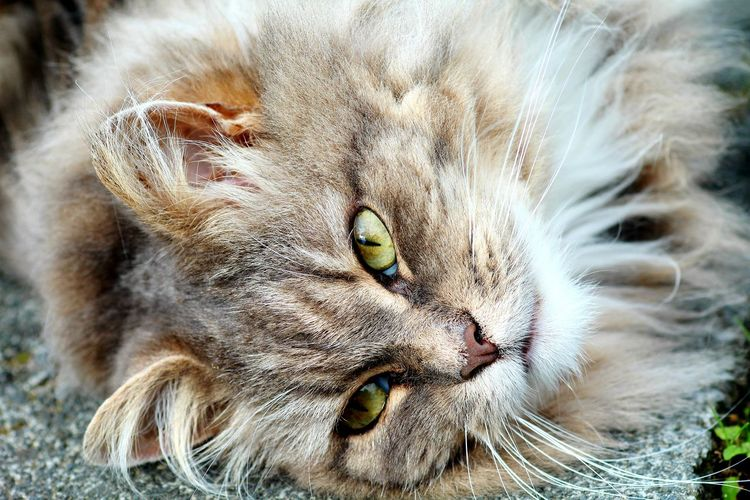 One Animal Pets Cat Domestic Cat Animal Head  No People Animal Hair Cat♡ Katze Canon Mainecoon Kitten Süße Katze