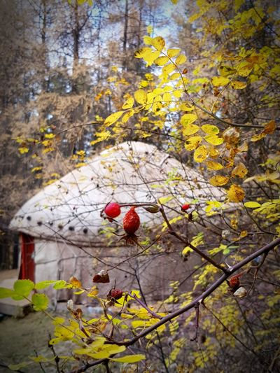 Yurt. Autumn. Kyrgyzstan. Yurt NOMAD Nomadiclife Kyrgyzstan Yurts Rosehips Autumn Autumn colors Yellow Red Tradition Lifestyles Nomadic Culture Nomadic Lifestyle Nomad EyeEm Nature Harmony Autumn Leaves Autumn colors Tree Branch Flower Autumn Leaf Fruit Red Close-up Architecture Building Exterior Fall My Best Travel Photo