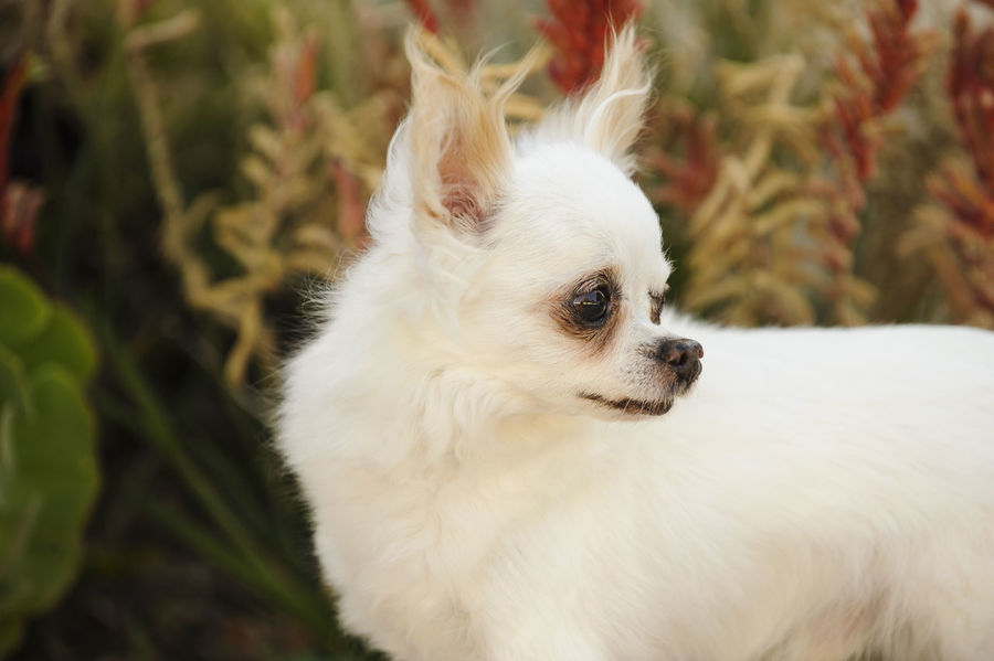 Chihuahua dog Chihuahua Dog Domestic Animals Garden Longhair Natural Light Nature No People Outside Pet Small Dog Succulents Terrier