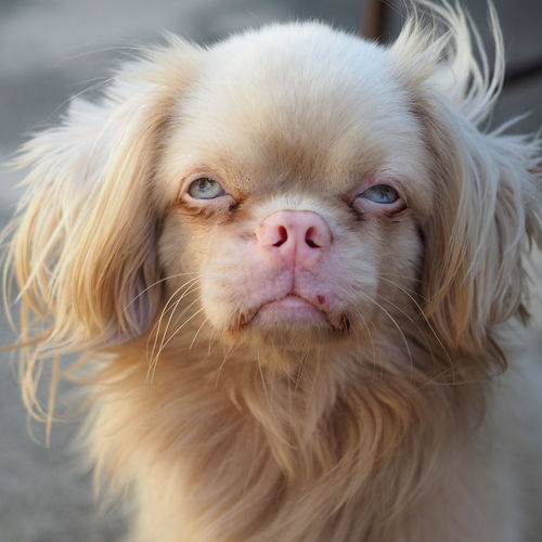 Very beautiful pechinese dog with blue ey Animal Animal Body Part Animal Eye Animal Hair Animal Head  Animal Themes Canine Close-up Day Dog Domestic Domestic Animals Hair Indoors  Looking At Camera Mammal No People One Animal Pechinesedog Pets Portrait Small Snout Vertebrate