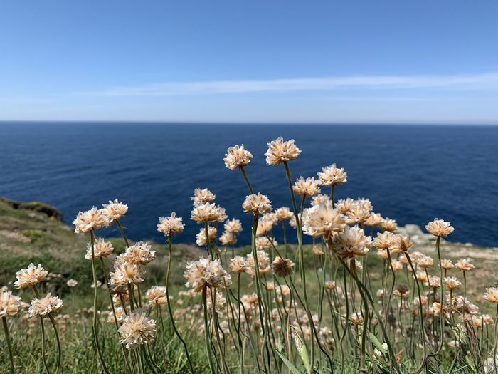 Typical flowers from costa da morte, in the atlantic zone of galicia