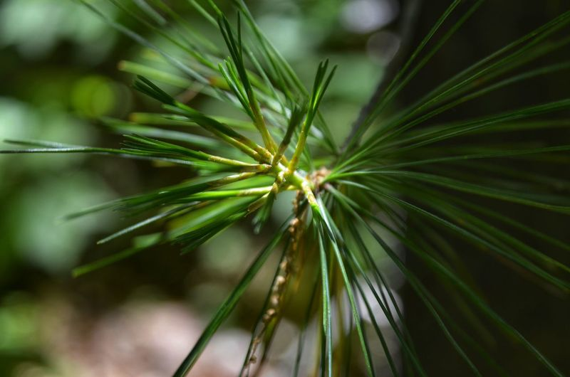 Tree Flower Leaf Pine Tree Palm Tree Beauty Pinaceae Close-up Plant Green Color Plant Part