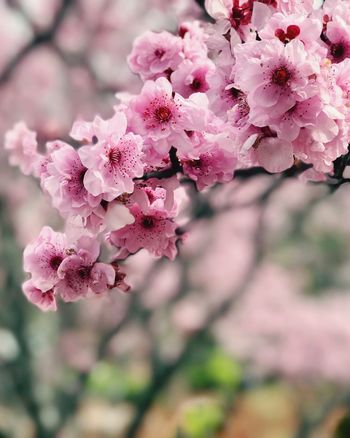 Beautiful Cherry blossom in full bloom. The Grate Outdoors The Best Of The Best Sunsets + Sunrise The Best Of Eyeem The Beauty Of Nature Thebestseller Flower Fragility Pink Color Beauty In Nature Growth Blossom Nature Petal Freshness Springtime Branch Botany Close-up Tree No People Day Flower Head Outdoors Blooming
