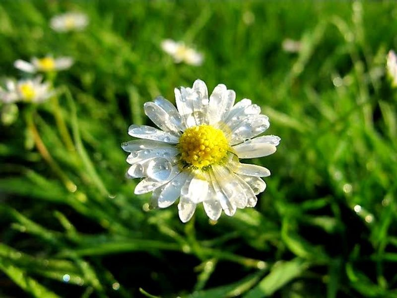 Flower Nature Green Color Petal Focus On Foreground Plant Flower Head Outdoors Fragility Beauty In Nature Day Close-up Outdoor Pursuit Summer No People Living Organism Multi Colored Freshness Biology Nature Reserve Daisy 🌼 Daisy Daisy Flower Daisy Close Up Macro