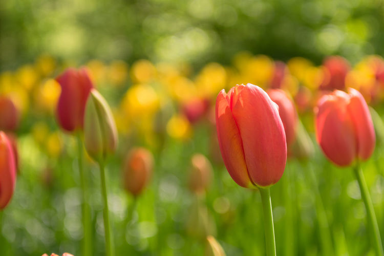 Blooming red tulips, selective focus, shallow depth of field Easter Flower Freshness Tulip Close-up Nature Field Fragility Springtime Orange Green Yellow Anniversary Love Romance Romantic Blooming Spring Vibrant Inflorescence Meadow Congratulating Card Blossom Valentine's Day