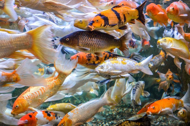 Animals Animal Tank UnderSea Sea Life Underwater Swimming Sea Coral Water Animal Themes Close-up Tropical Fish Koi Carp Ocean Floor Carp Saltwater Fish Clown Fish Reef My Best Photo