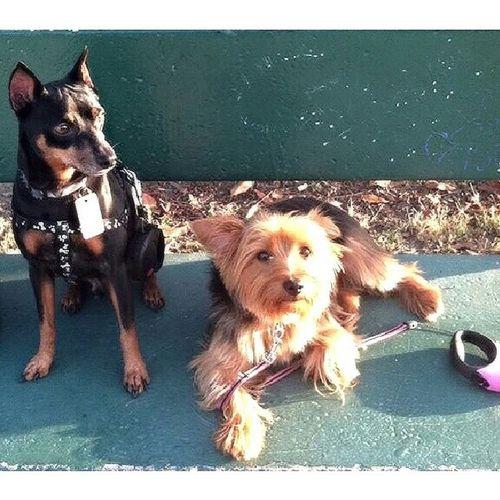 Bigbro Bruno Babybro Chewy Myboys minpin yorkie dogs puppies puppy love kids boys brothers park bench grass field