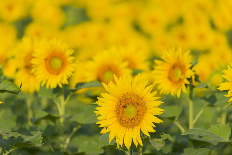 Sunflowers Abbundance, Agriculture Beauty In Nature Bee Close-up Day Flower Flower Head Focus On Foreground Fragility Freshness Green Color Growth Many Nature No People Outdoors Petal Sunflower Sunny Tranquility Yellow Yellow Color Yellow Flower