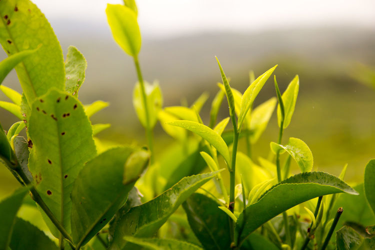 Growth Plant Green Color Close-up Plant Part Beauty In Nature Leaf Nature No People Day Focus On Foreground Tranquility Fragility Vulnerability  Outdoors Selective Focus Flower Sunlight Freshness Field Leaves Green Tea Food And Drink Beauty In Nature Green Tea Field Drink Feelings EyeEm Best Shots EyeEm Nature Lover EyeEm Selects EyeEm Gallery ForTheLoveOfPhotography ForTheLoveOfNature