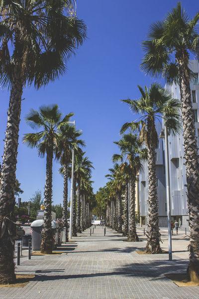 Barcelona Nature Barcelonetabeach Clear Sky Day Growth Larambla Nature No People Outdoors Palm Tree Sky Sunlight The Way Forward Tree Tree Trunk Trees And Sky Ways
