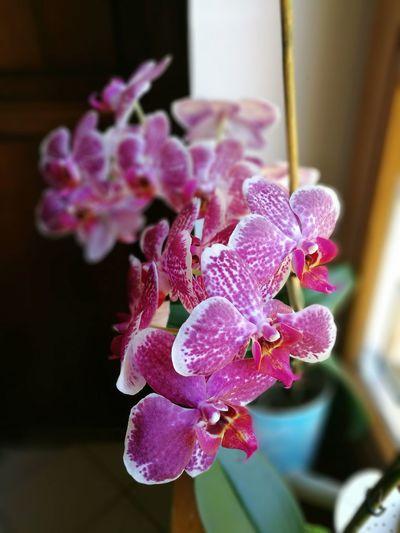 Phaleonopsis Flower Naturallight