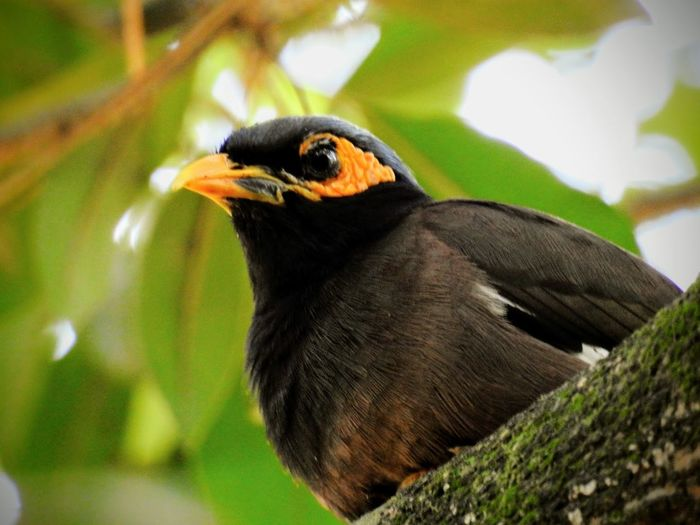 A mynah bird sitting on a branch Bird Animal Themes One Animal Nature Close-up Beak No People Outdoors Perching