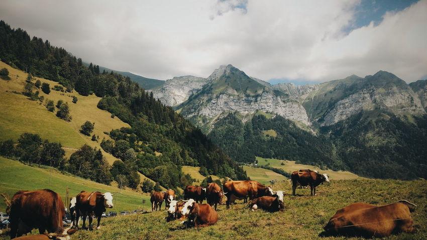 Eyeemphoto Cow Domestic Cattle Grass Field Landscape Mountain France