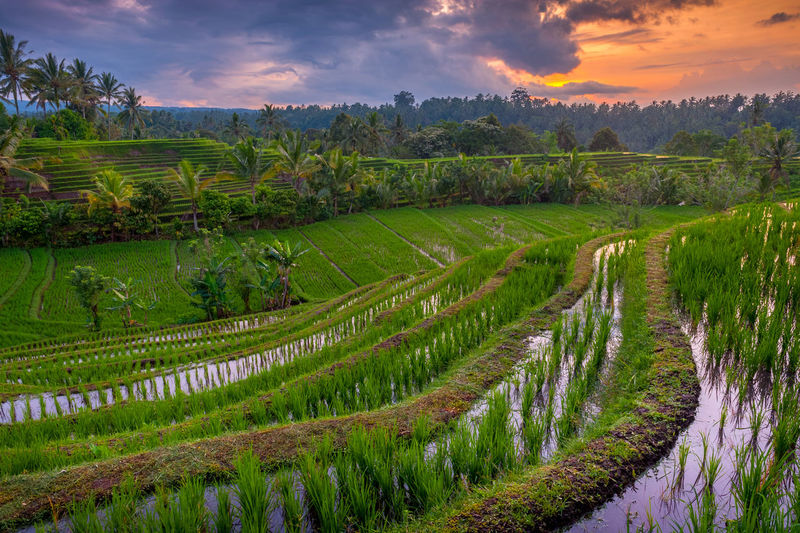 Rice Terraces of Bali, Indonesia. Dawn in the rice fields of Belimbing, Bali. New rice has been planted and the fields flooded for yet another crop in paddys that have been cultivated for hundreds of years. Agriculture ASIA Bali Bali Indonesia Beauty In Nature Belimbing Cloud - Sky Field Food Green Color Landscape Lush Foliage Nature No People Outdoors Rice Rice Field Rice Paddy Ricefield Rural Scene Sky Sunrise Sunrise_Collection Terraces Travel