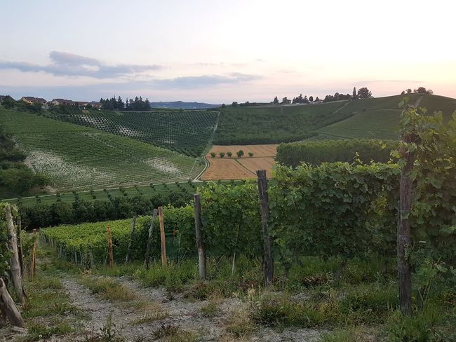 Agriculture Field Rural Scene Wine Grape Vineyard Winemaking Farm Hill Outdoors Landscape Food And Drink Farmhouse Vine - Plant Nature No People Sunset Tree Sky Langhe Piedmont Italy Tranquility