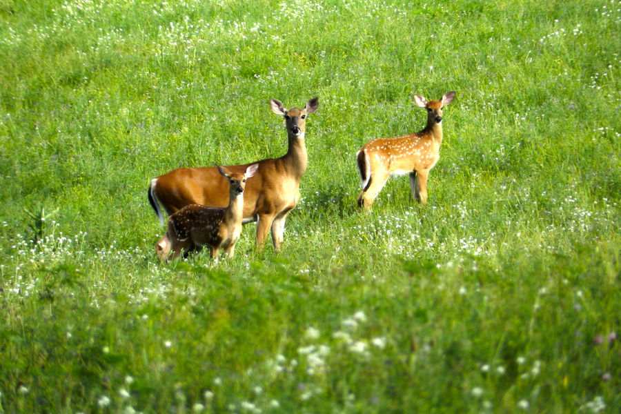 Doe and Fawns Animal Themes Beauty In Nature Brown Day Deer Deers Doe Fawn Fawns Field Field Grass Grassy Grazing Green Green Color Landscape Mammal Nature No People Outdoors Rural Scene Tranquil Scene Tranquility Valley