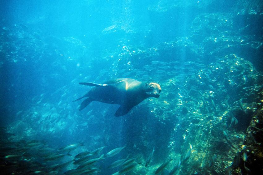Galapagos Sea Lion underwater Galapagos Galapagos Sea Lion Galapagos-Seelöwe Nature Sea Lion Animal Animal Themes Animal Wildlife Animals In The Wild Fish Marine Motion Nature One Animal Pacific Ocean Robbe Sea Sea Life Seelöwe Swimming Tower Island UnderSea Underwater Vertebrate Water