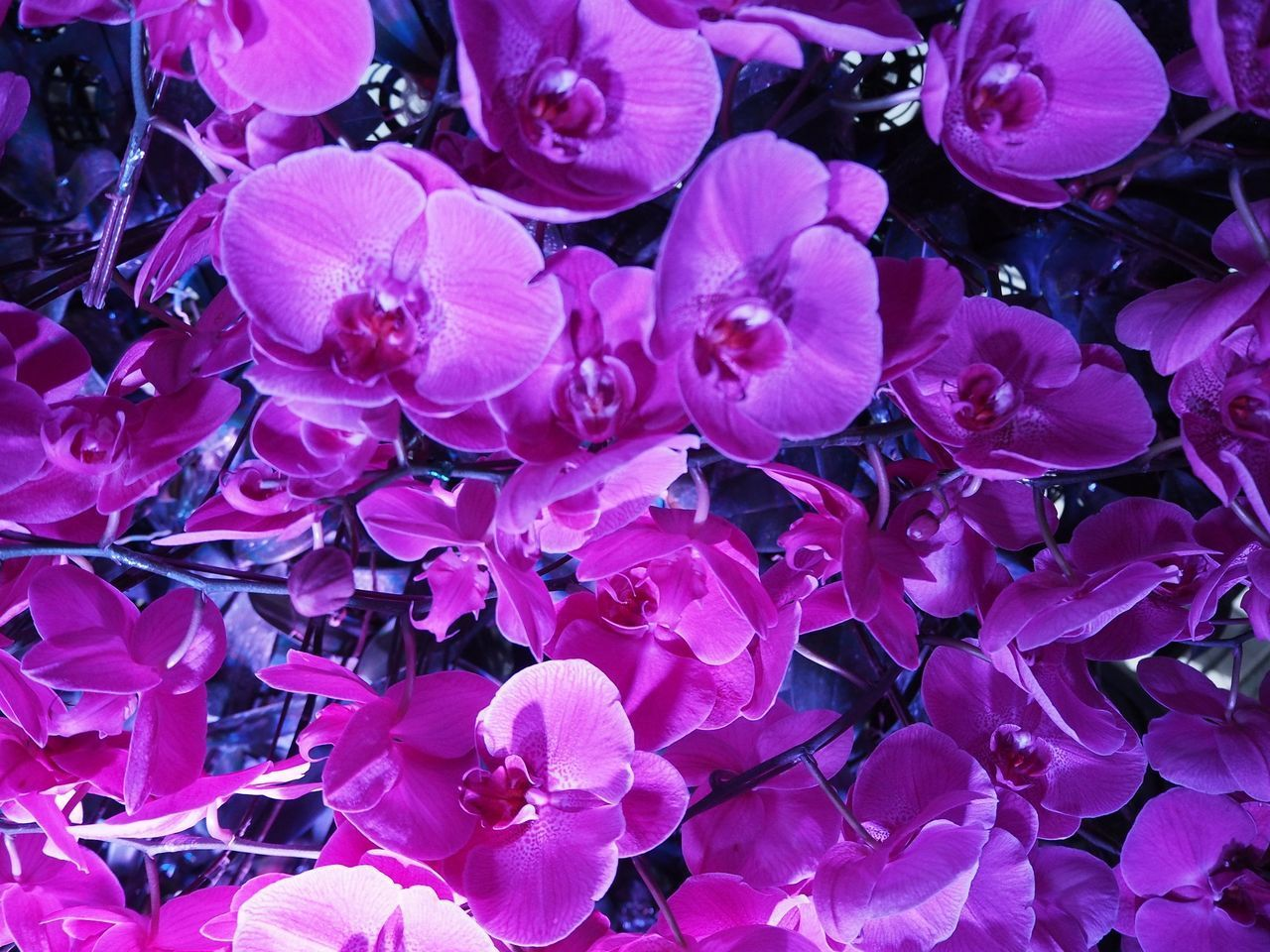 flower, flowering plant, freshness, beauty in nature, petal, vulnerability, plant, fragility, close-up, full frame, growth, inflorescence, pink color, flower head, no people, backgrounds, nature, purple, day, outdoors, lilac, pollen, bunch of flowers