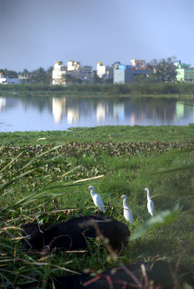 Nature Beauty In Nature Boat, Cattle Egret, City Cow Day Flies On Lakeside Water, Flies, Grass Lake Lone Fly On Water, Nature Outdoors Sky Urbanization Water