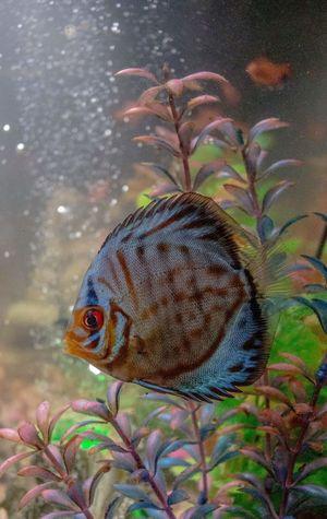 Blub. Aquarium Discus Fish Colorful Fish Blub Aquariumfish Underwater Detail No People Discus Discus Pretty Water Water Bubbles Animal Photography