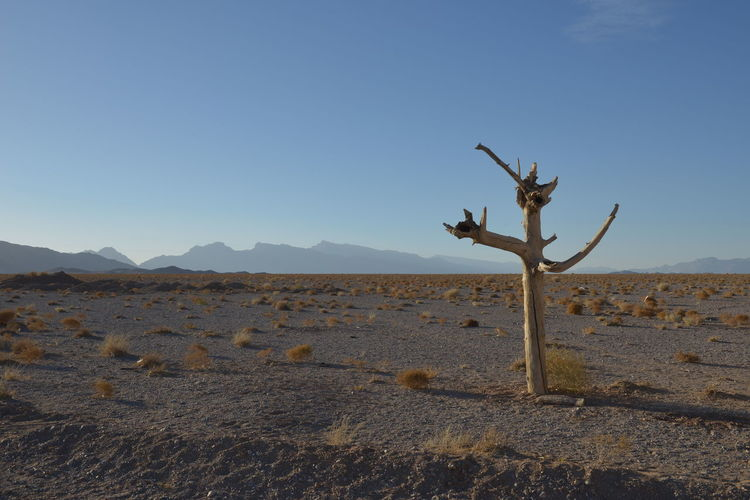 Bare tree at desert against clear sky