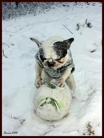 Here is the original photo of my frenchie Dj aka Yoda. ? A Pose Djthefrenchbd Cute♡ Funny Pics French Bulldog FUNNY ANIMALS My French Bulldog <3 Djthefrenchbd