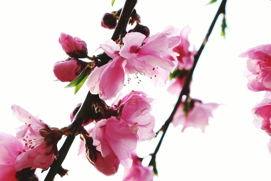Flower Pink Color Fragility Nature Beauty In Nature Growth Close-up Blossom Springtime Flower Head Tree 桜 Japan Fleur No People Beauty In Nature Plant Beauty Nature Tree