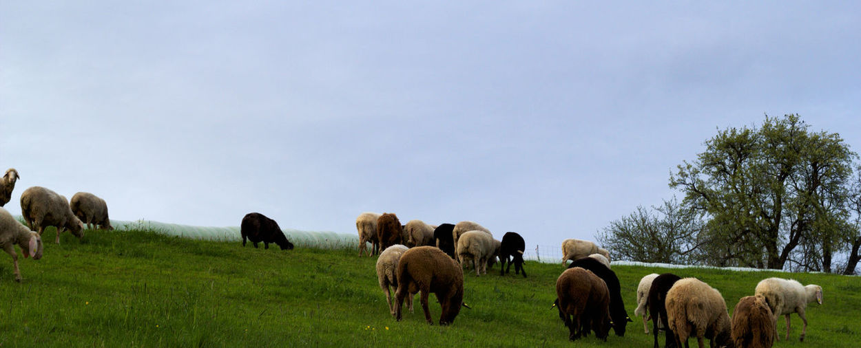 Animal Themes Beauty In Nature Day Grass Large Group Of Animals Mammal Nature No People Outdoors Sheep Sky