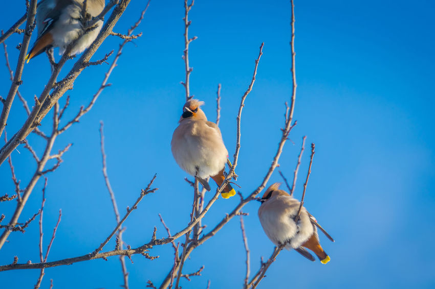 Wintertime Animal Animal Themes Animal Wildlife Animals In The Wild Bare Tree Bird Blue Branch Day Group Of Animals Low Angle View Nature No People Outdoors Perching Plant Sky Tree Vertebrate Waxwing Waxwings