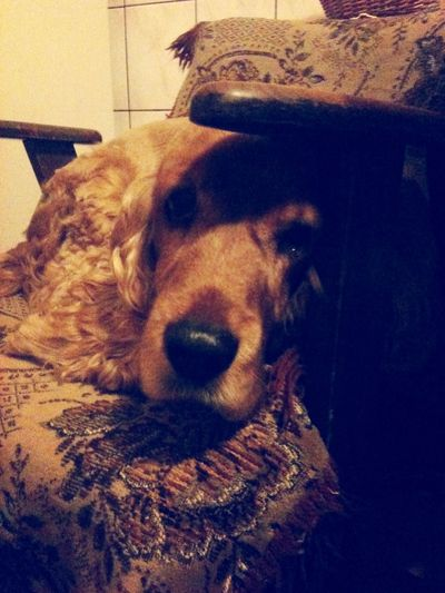 I Love My Dog Pets Cockerspaniel Dog