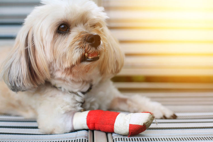 Injured Shih Tzu front leg wrapped by red bandage with sunset light Shih Tzu Bandage Canine Close-up Cute Dog Domestic Domestic Animals Hospita; Indoors  Injury Insurance Looking At Camera Lying Down Mammal No People One Animal Pets Portrait Relaxation Sitting Small Vertebrate