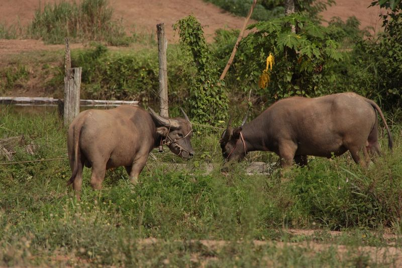 Young Buffalo Local Life Village Life Animals Countryside No People in North Thailand South East Asia