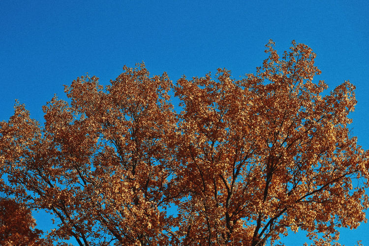 Fall, 2018 Autumn Mood Sky Blue Clear Sky Plant Low Angle View Tree Beauty In Nature Growth Nature No People Autumn Day Tranquility Branch Outdoors Change Copy Space Scenics - Nature Tranquil Scene Treetop Autumn Fall Nature Tree